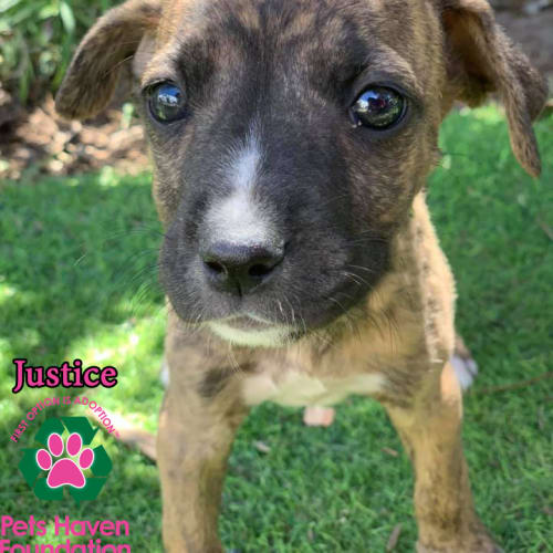 Justice - Boxer Dog