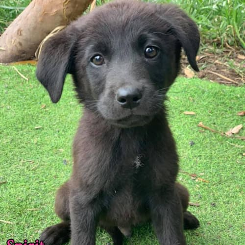 Spirit - Labrador x Maremma Sheepdog