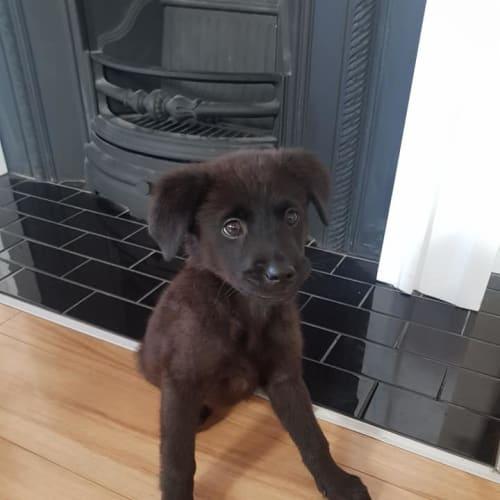 Binky - Maremma Sheepdog x Labrador Dog
