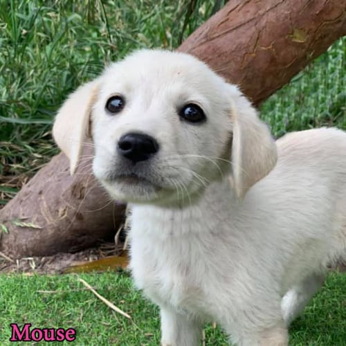 Mouse - Maremma Sheepdog x Labrador Dog