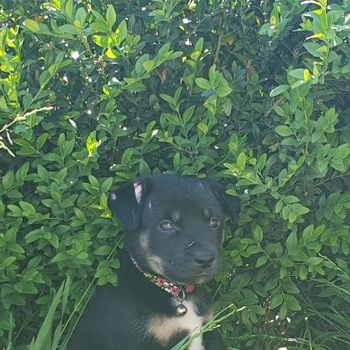 Pixie - German Shepherd x Kelpie Dog