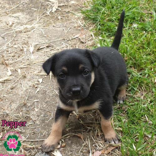Pepper - Kelpie x German Shepherd Dog