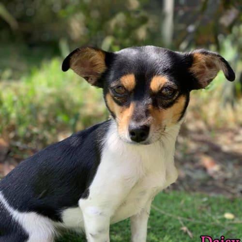 Daisy - Miniature Fox Terrier Dog