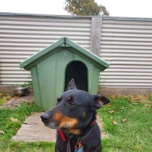 Buddy - Mixed Breed Dog