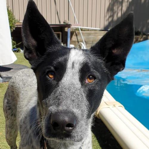 Pepper - Australian Cattle Dog x Kelpie Dog