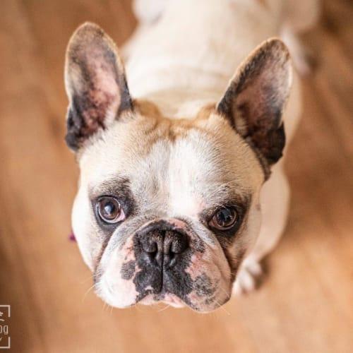 Marnie Wazowski - French Bulldog