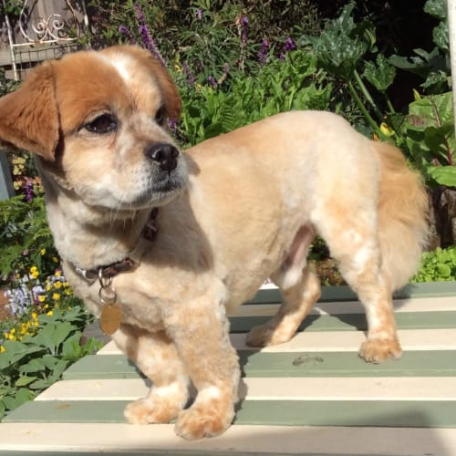 Matty - Maltese x Jack Russell Terrier Dog