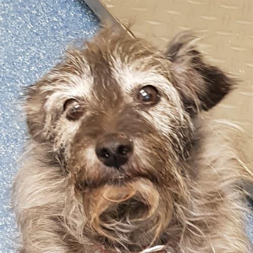 Toto - Australian Terrier Dog