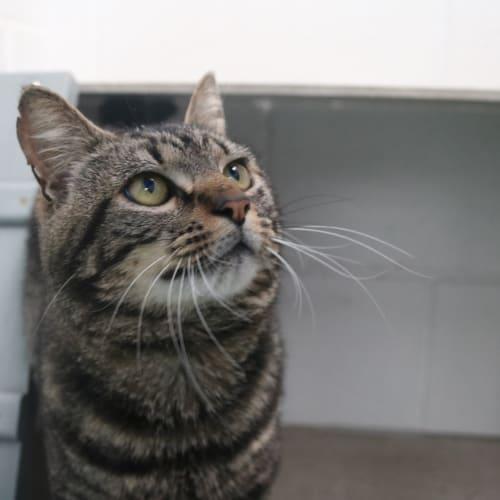 Alfie 933115 - Domestic Short Hair Cat