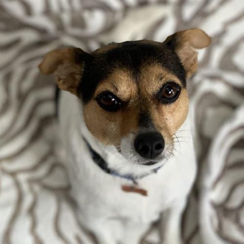 Susie - Fox Terrier Dog
