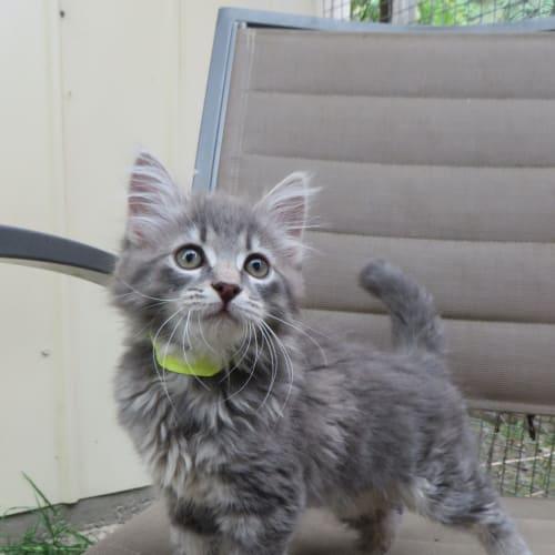 Apollo - Domestic Medium Hair Cat