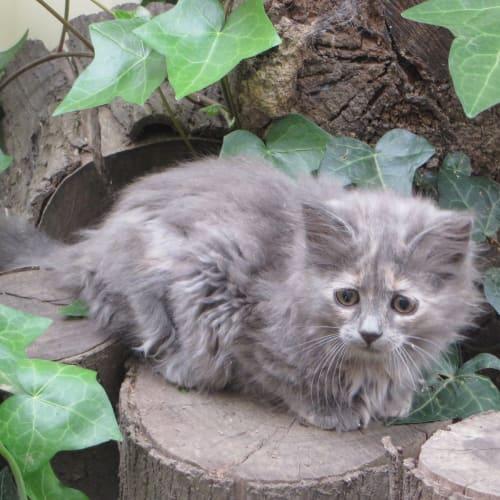 Arian - Domestic Medium Hair Cat