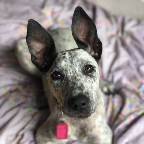 Penny - Australian Cattle Dog