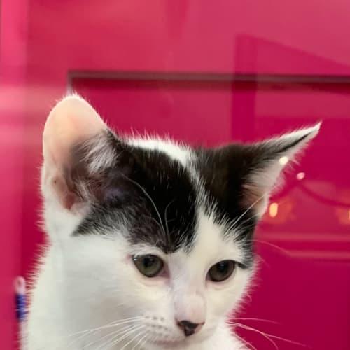 Maree - Domestic Short Hair Cat