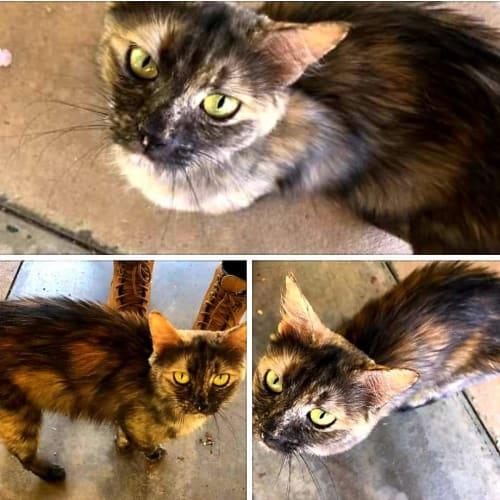 Foster carer needed - Domestic Short Hair x Domestic Medium Hair Cat