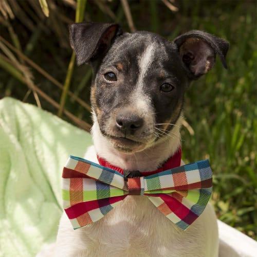 Alfredo ~ bouncy Foxy x puppy - Fox Terrier Dog