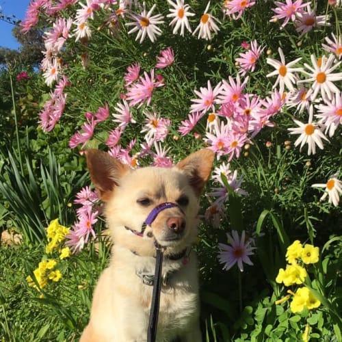 Timmy - Chihuahua Dog