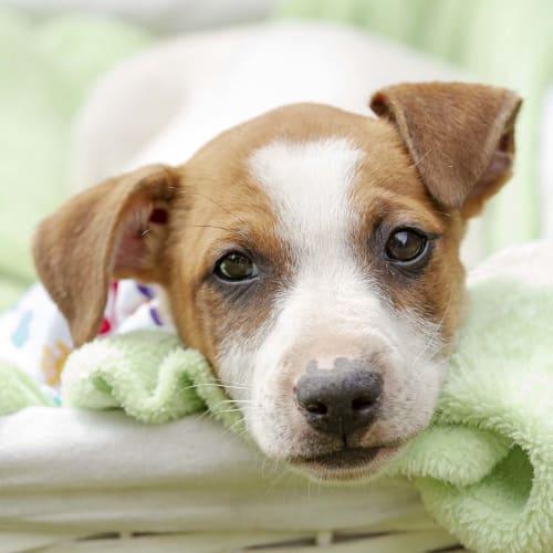 Frank ~ cute Foxy x puppy - Fox Terrier Dog