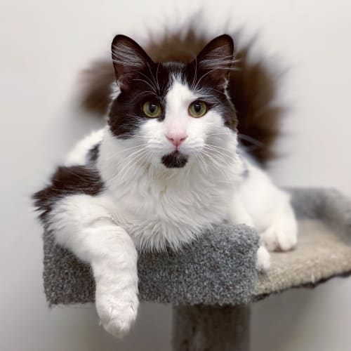 Zeus - Domestic Short Hair Cat