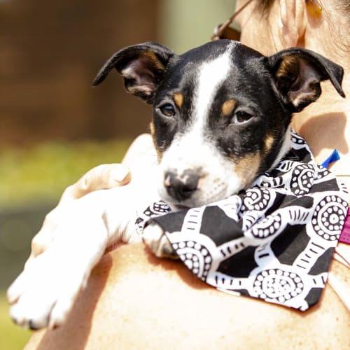 Zach ~ lovely Foxy x puppy - Fox Terrier Dog