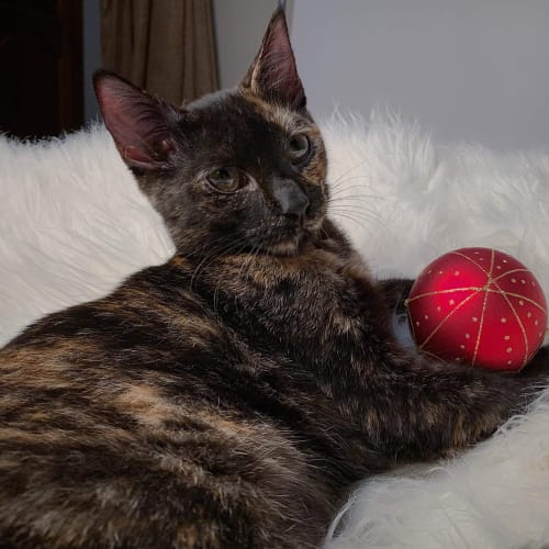 Sadness  - Domestic Short Hair Cat