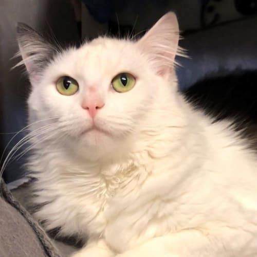 Ashlan - Domestic Medium Hair Cat