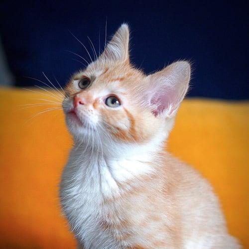 Pumpkin ~ 6 week old male kitten - Domestic Short Hair Cat