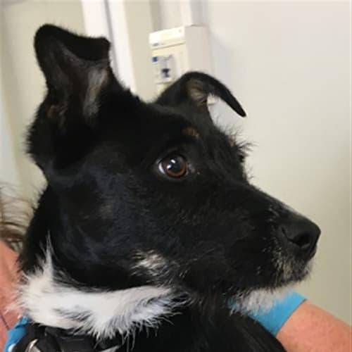 Lola - Terrier Dog