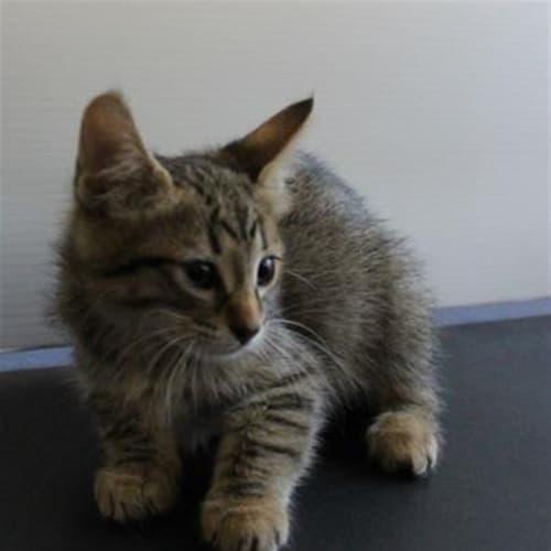 Carol - Domestic Short Hair Cat