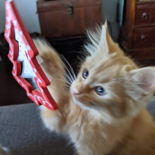 Prince - Domestic Medium Hair Cat
