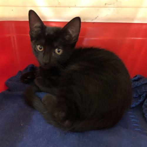 Shirley - Domestic Short Hair Cat