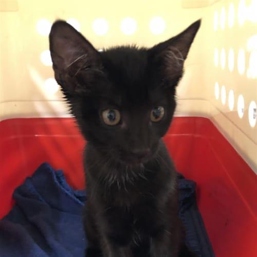 Laverne - Domestic Short Hair Cat