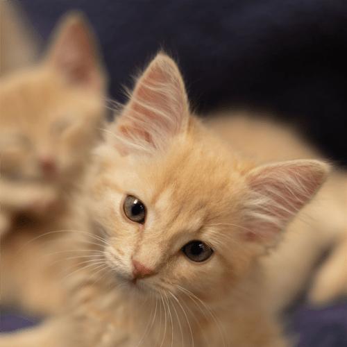 Jesse  - Domestic Short Hair Cat