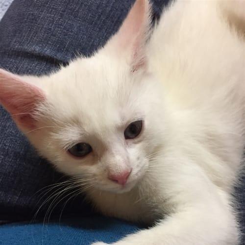 Lily - Domestic Medium Hair Cat