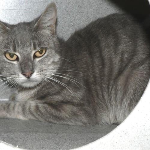 Delta - Domestic Short Hair Cat