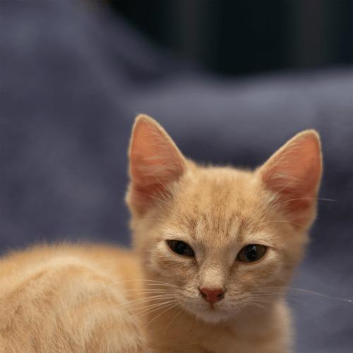 Michelle  - Domestic Short Hair Cat