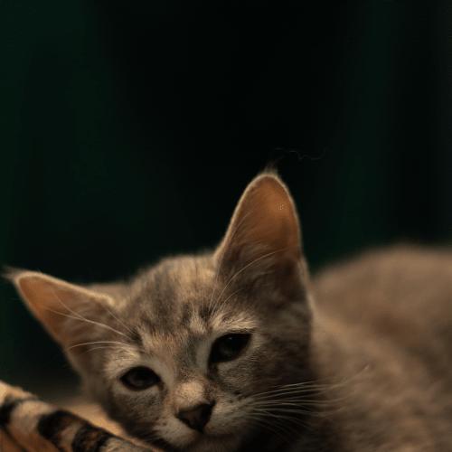 Zoe - Domestic Short Hair Cat