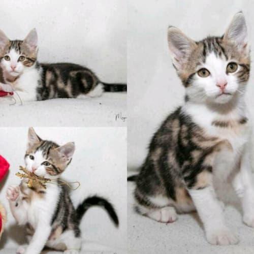 1681 - Paisley - Domestic Short Hair Cat