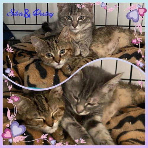 Silvie and Destiny ❤❤ - Domestic Short Hair Cat