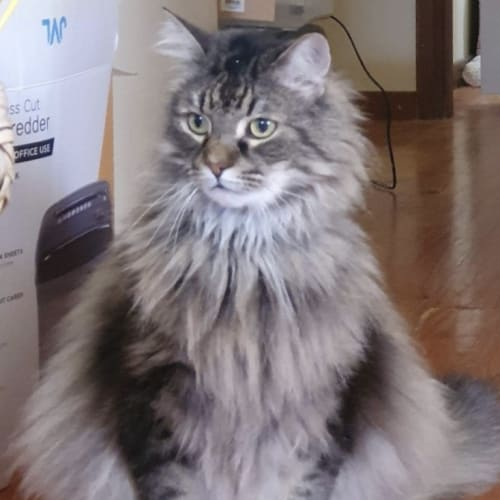 Bibble - Domestic Long Hair Cat