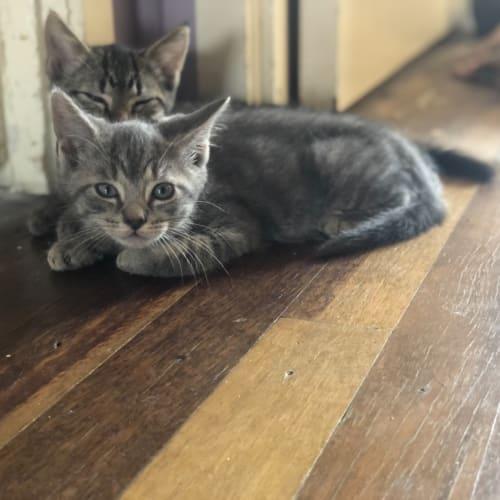 Chardonnay - Domestic Short Hair Cat