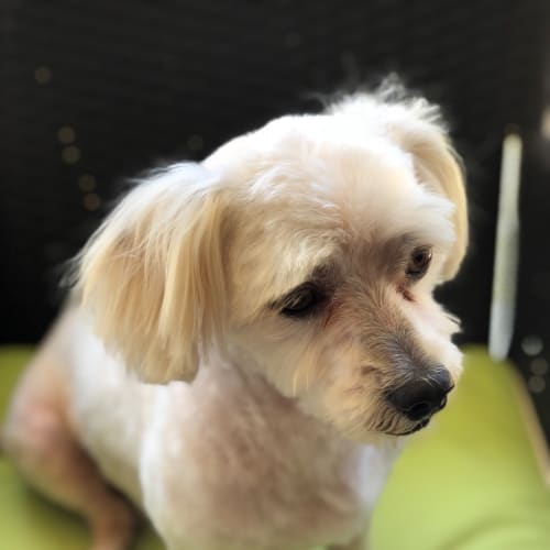 Hansen - Maltese Dog