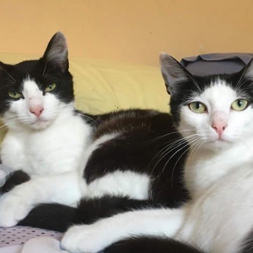 Bullit and Tammy ❤❤ - Domestic Short Hair Cat