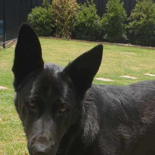 Dagger - German Shepherd Dog