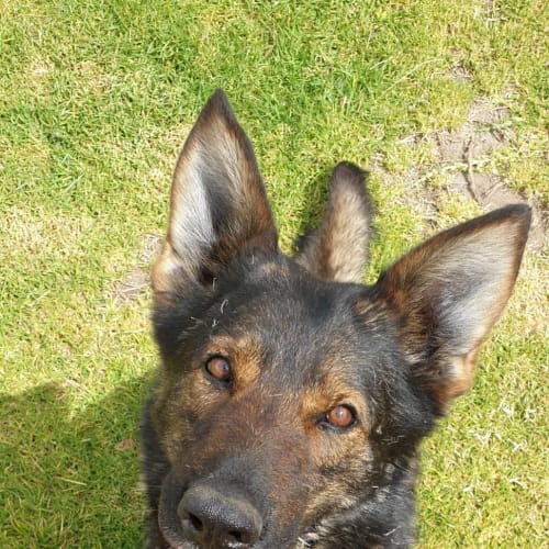 Angelina - German Shepherd Dog