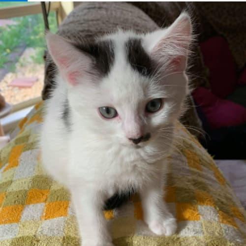 Gentleman Jack (Jackie)  - Domestic Short Hair Cat