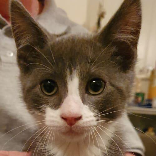 Mercury - Domestic Short Hair Cat