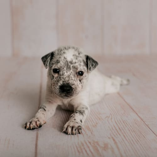 Rafiki - Border Collie x Blue Heeler Dog
