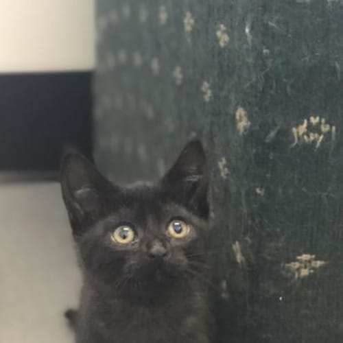 Jeanie - Domestic Short Hair Cat