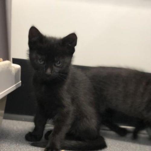 Davina - Domestic Short Hair Cat
